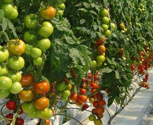 tomate-y-fresa
