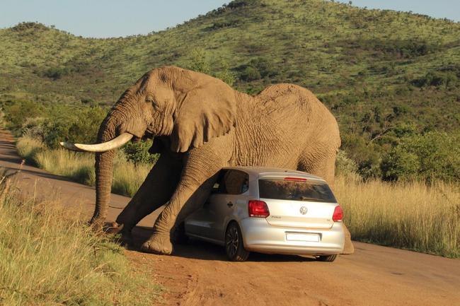elefante-volkswagen-polo