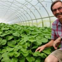 Wasabi: ¿por qué Estados Unidos invierte en la planta más difícil de cultivar del mundo?
