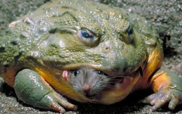 Las ranas más extrañas – TOLOMEO