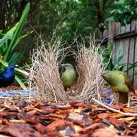 El elaborado nido de los pájaros Jardineros