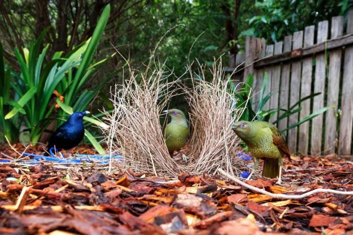 pajaros-jardineros-satinados-ptilonorhynchus-violaceus