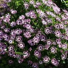 "African daisy ""Serenity Lavender Bliss"" (Osteospermum)"