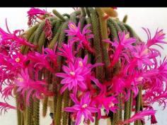 Aporocactus - Cactus Cola de Rata