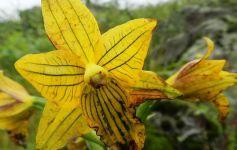 Chloraea undulata