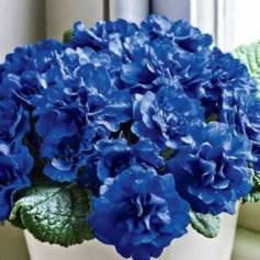 Cobalt blue Primrose