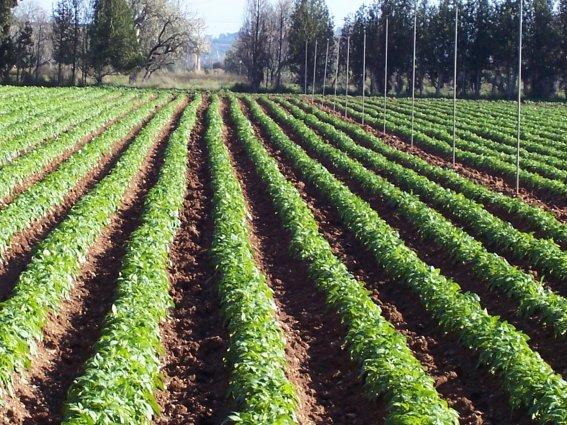 cultivo-patata