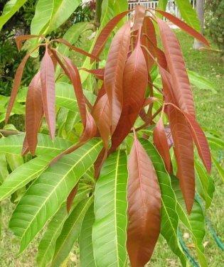 hojasmangotiernas