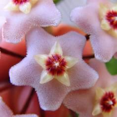 La Flor de Cera