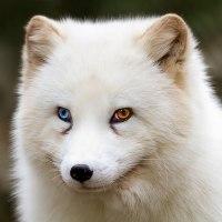 Animales con un ojo de diferente color.