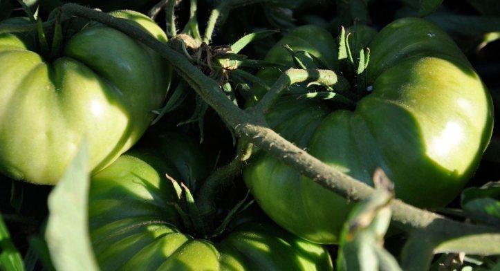 tomates-feos-verdes1