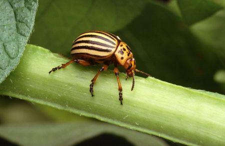 Escarabajo de la patata o dorífora