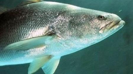 Totoaba, el pez mexicano 'afrodisíaco' más caro que la cocaína