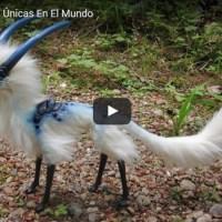 VIDEO: Diez aves exóticas únicas en el mundo